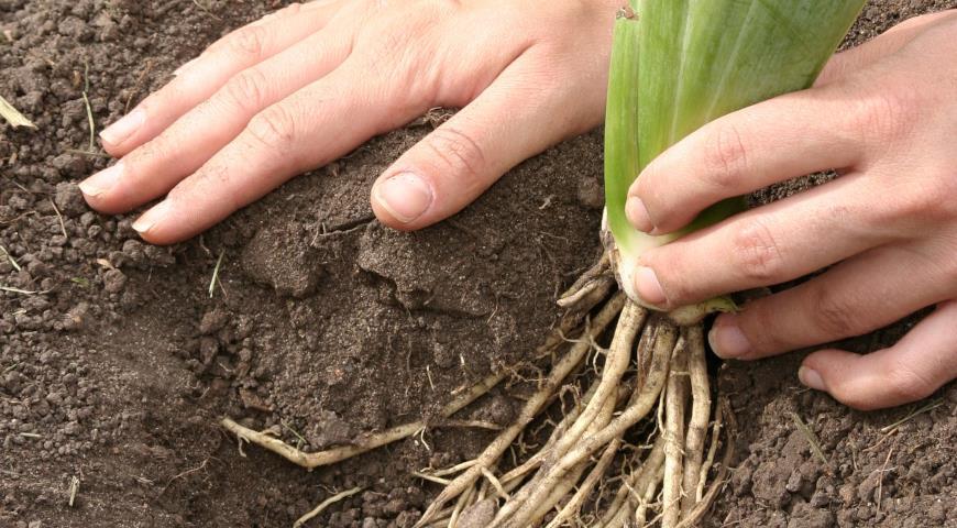 Сроки пересадки ирисов луковичных и корневищных, уход после