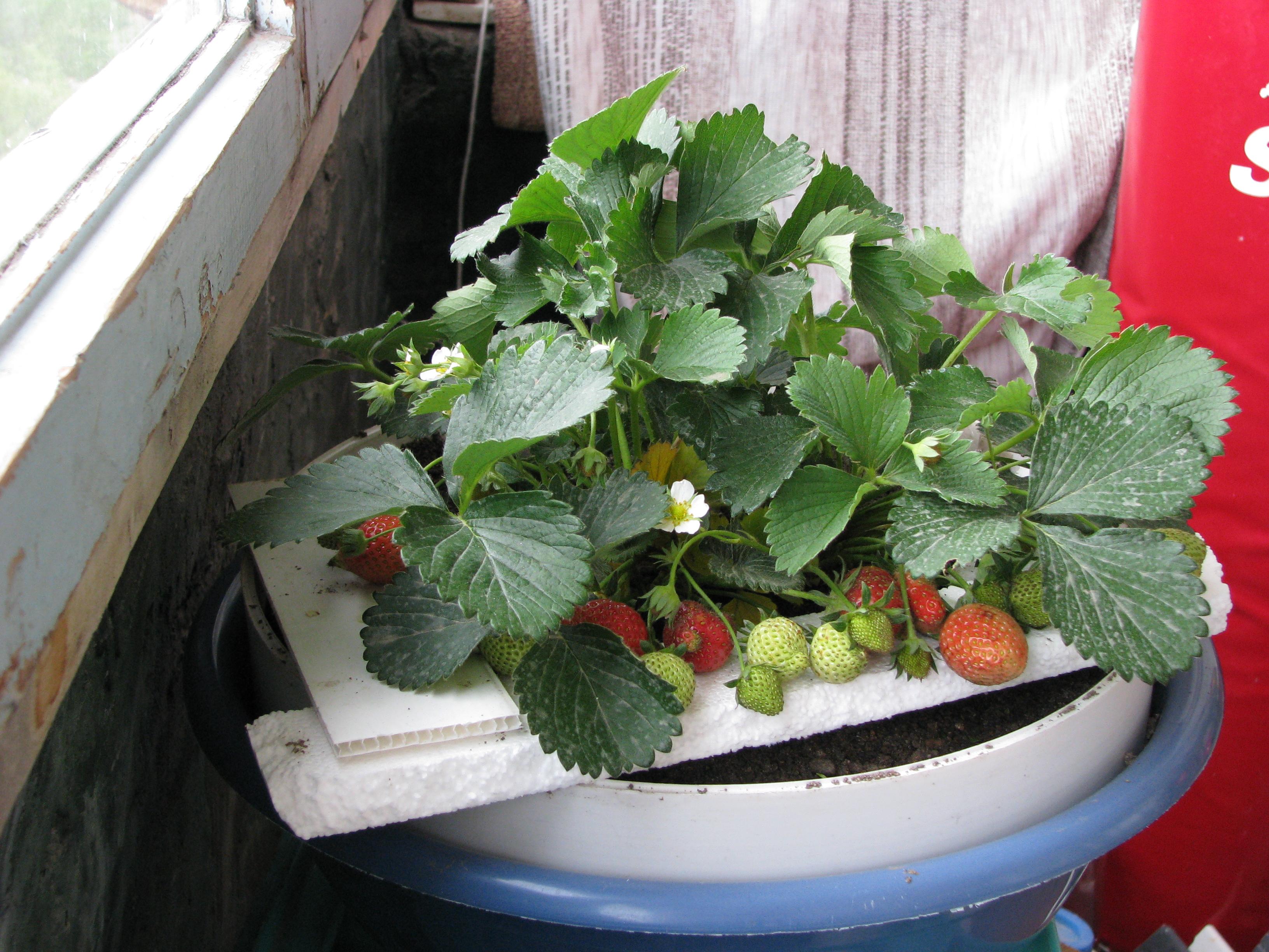 Выращивание земляники в цветочном горшке у себя дома