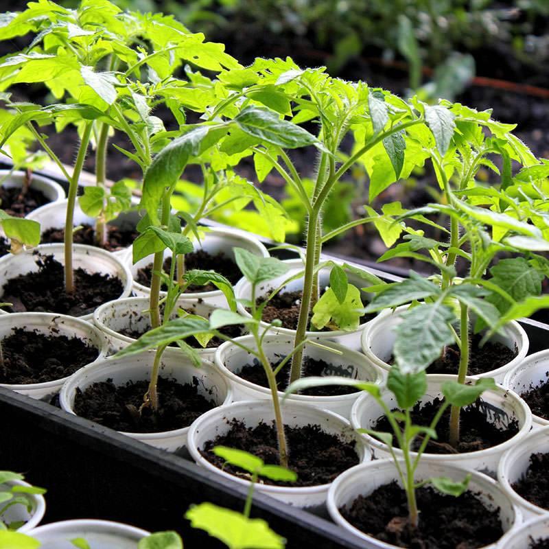Как вырастить рассаду томатов дома: фото, видео, секрет успешной рассады