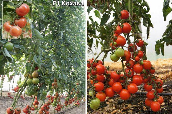 "Томат ""асвон f1"": фото и описание сорта, характеристики плодов-помидоров русский фермер"