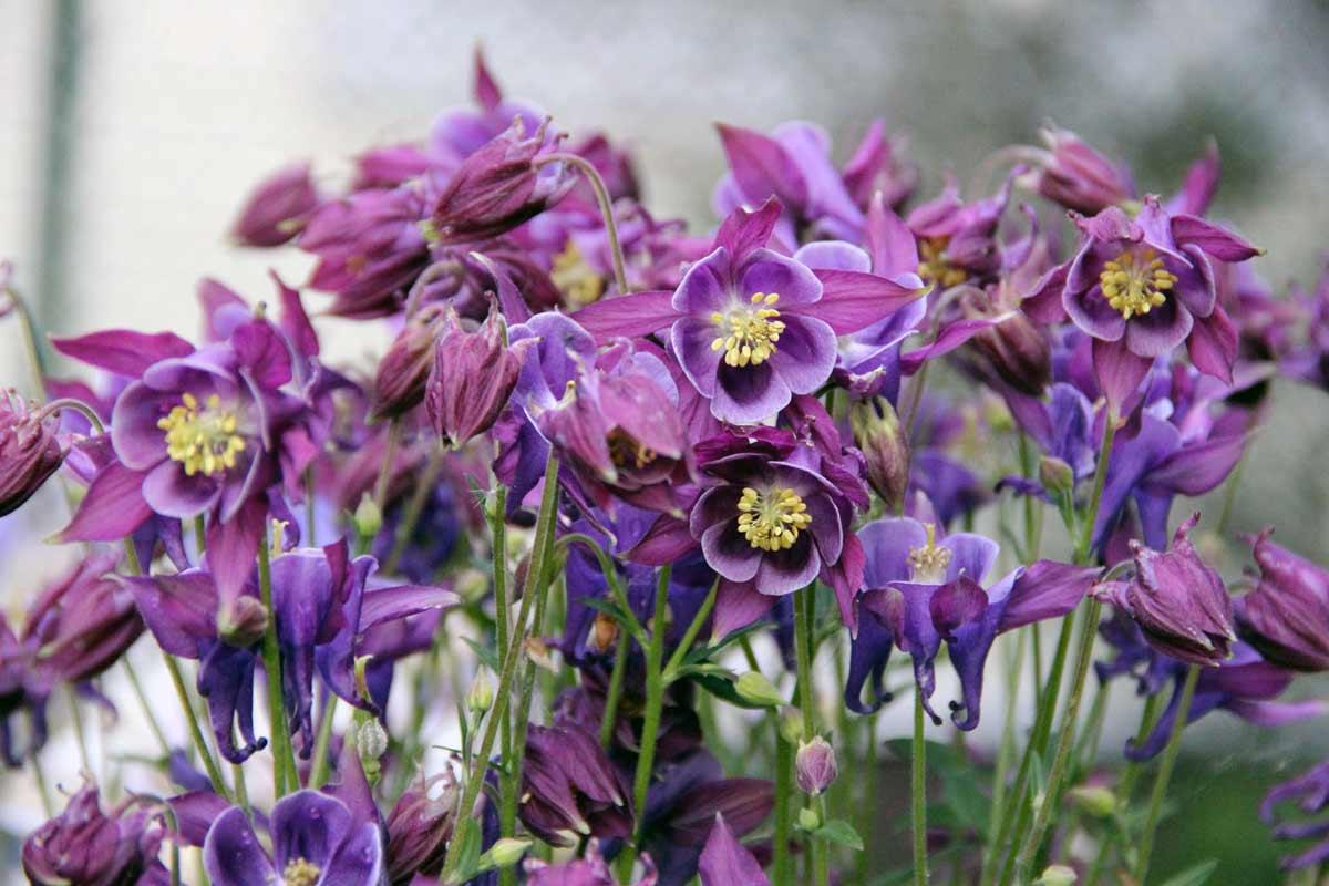 Выращивание аквилегии из семян: сроки и правила посева на рассаду, уход, пикировка