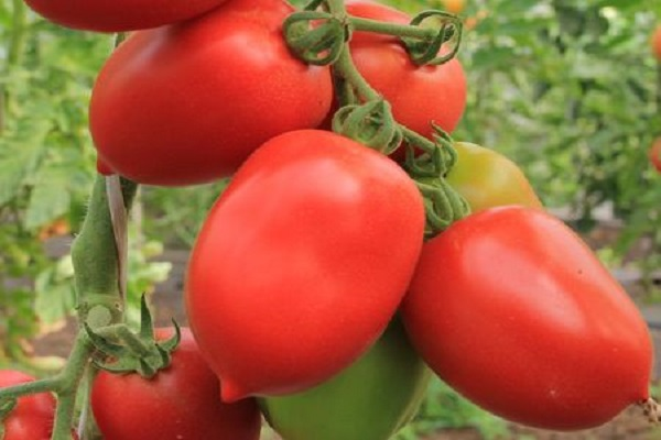 Селекция и семеноводство томатов