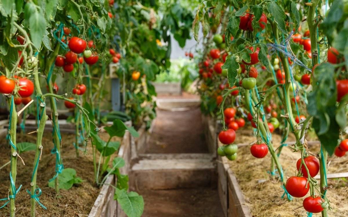 Агротехника выращивания томатов в теплице - садоводство