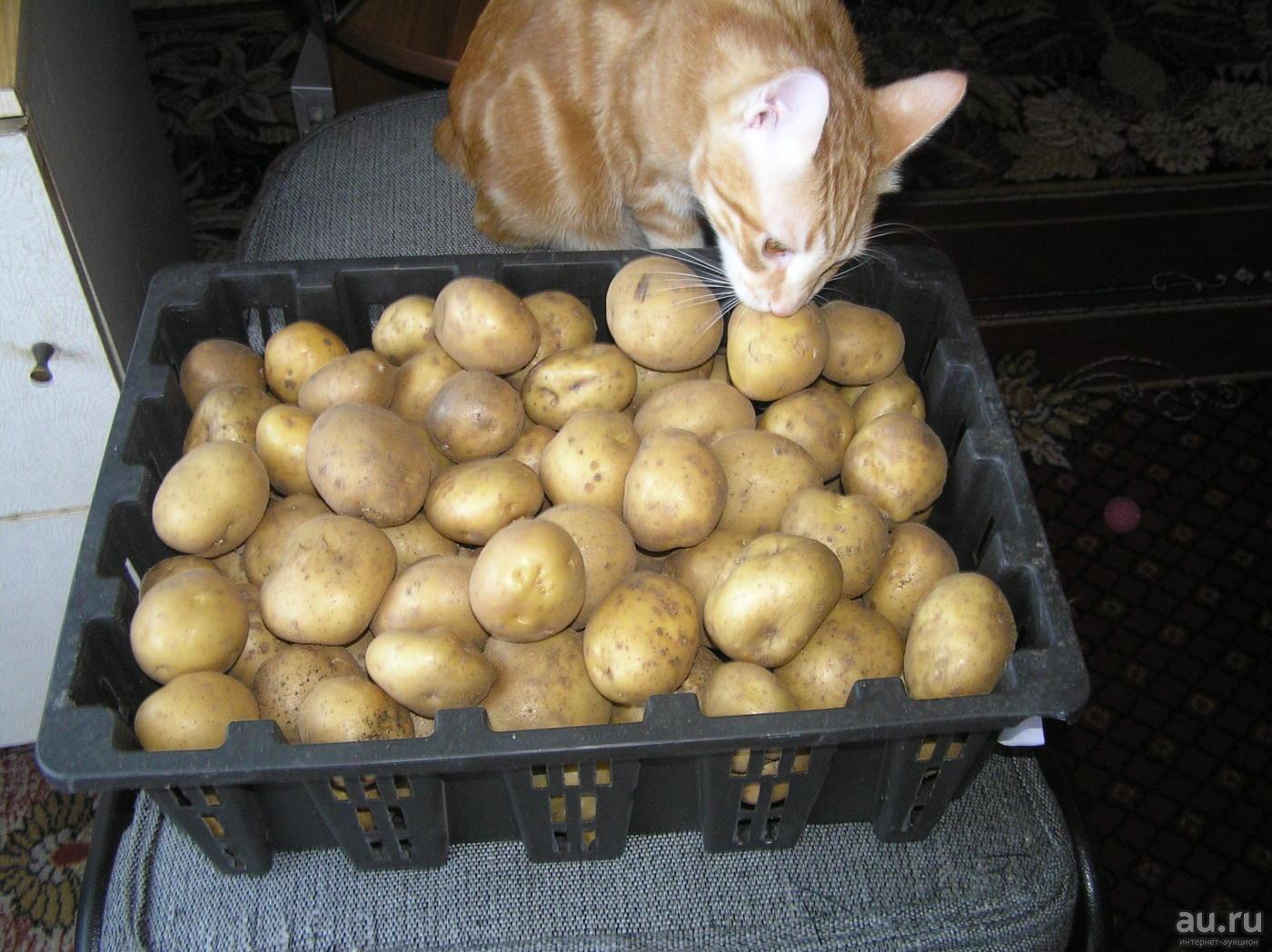 Картофель сорта тимо: особенности и характеристика, посадка, выращивание и уход, фото