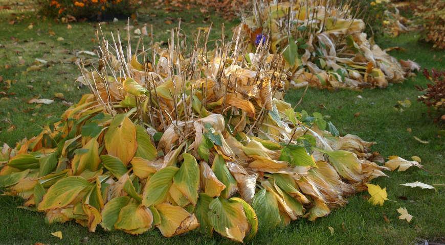 Розы уход осенью подготовка к зиме, обрезка, подкормка, укрытие
