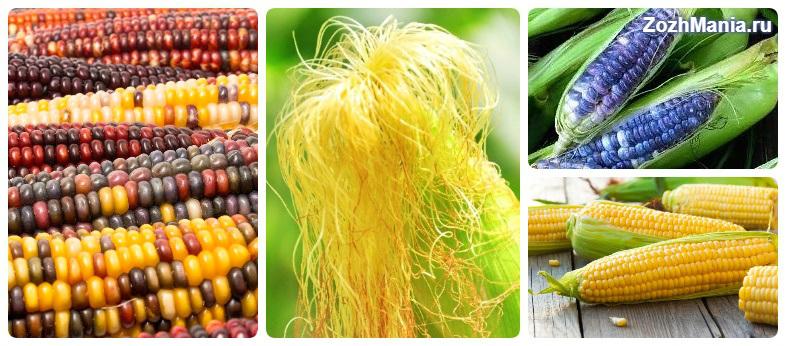 Полезные и вредные свойства кукурузы для здоровья человека