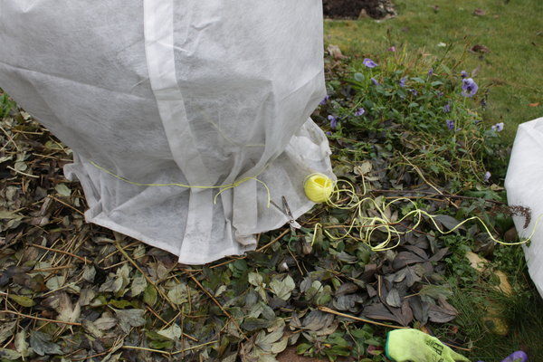 Уход за пионами осенью и подготовка их к зиме
