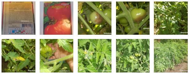 Раннеспелый гибридный сорт томата «морозко», обладающий отличной урожайностью