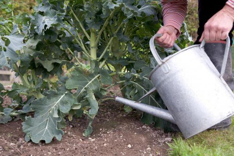 Как правильно поливать капусту в открытом грунте и чем