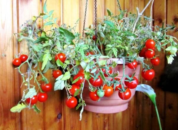 Томат балконное чудо - описание сорта, характеристика, урожайность, отзывы, фото