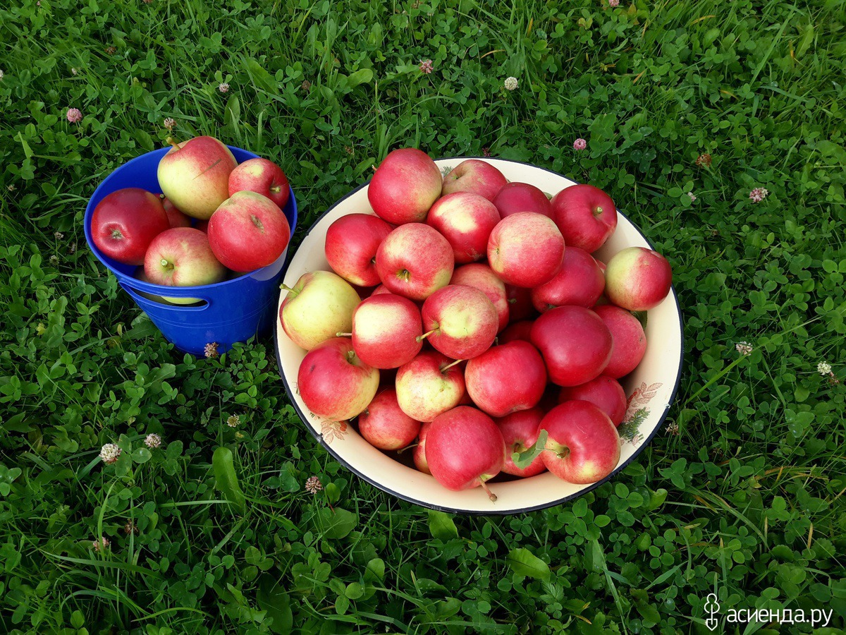 Яблоня веньяминовское: описание сорта, особенности ухода