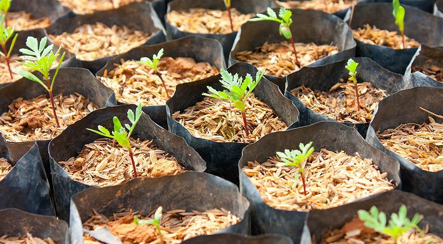 Пастернак: выращивание и уход в открытом грунте, вредители и болезни