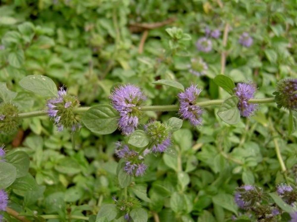 ✅ болотная мята: выращивание, полезные свойства, способы применения - tehnomir32.ru