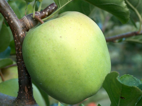 Описание сорта яблони титовка: фото яблок, важные характеристики, урожайность с дерева