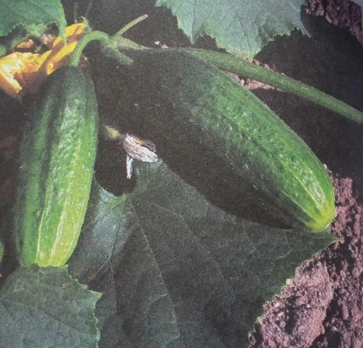 Описание сорта огурца журавлёнок: его характеристика и урожайность