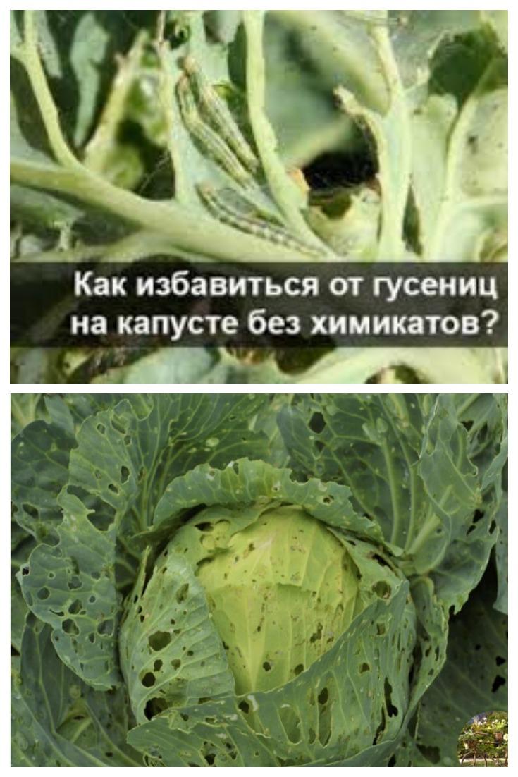Чем лучше обработать капусту от гусениц и бабочек, народные средства защиты