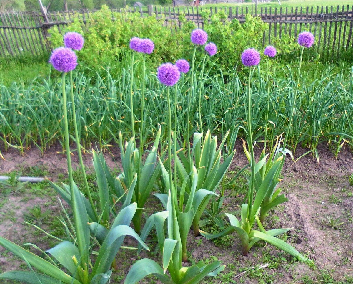 Дикий чеснок (черемша) – фото, полезные свойства и выращивание