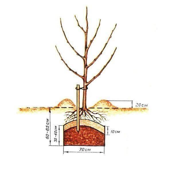 Как пересадить взрослую яблоню на новое место | дачные секреты - все секреты успешной дачи, тонкости выращивания и ухода за цветами, растениями.
