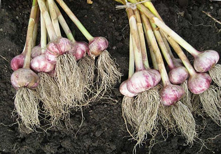 Когда убирать зимний чеснок: примерные сроки, признаки созревания овоща