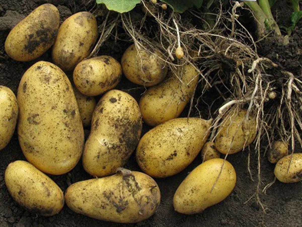 Сорт картофеля скарб: фото, описание и характеристика, основные особенности, преимущества, недостатки и правила выращивания, урожайность