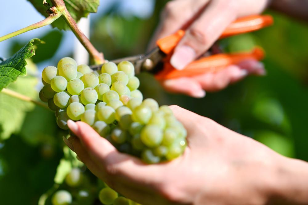 Сорт винограда аркадия: характеристика и особенности выращивания