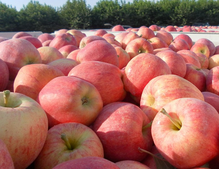 Зимние сорта яблонь: описание, характеристика, фото, отзывы