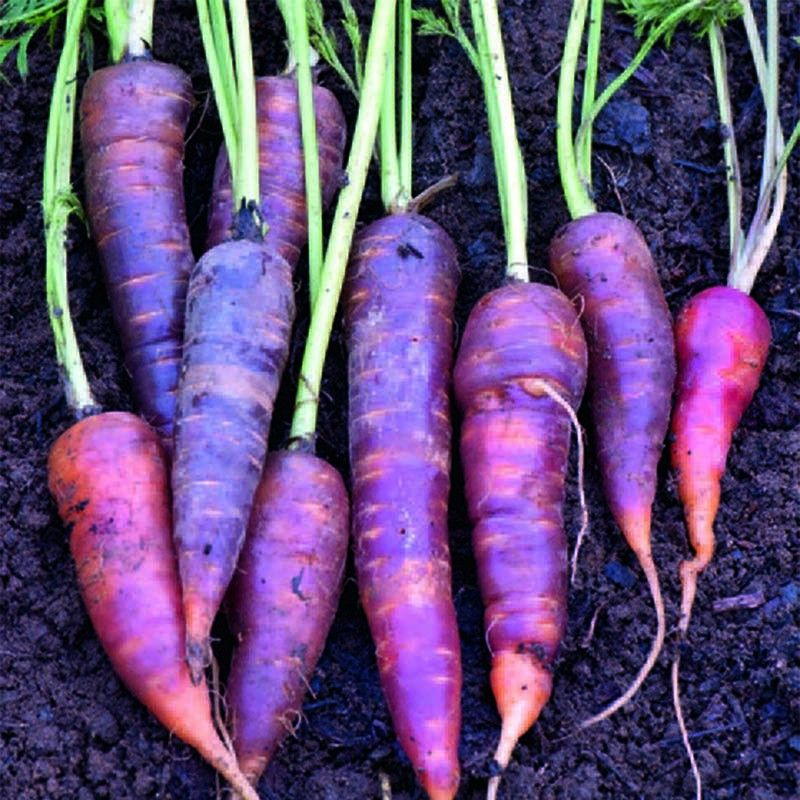 Морковь фиолетовая: что это такое и почему говорят, что раньше или изначально она была такого цвета