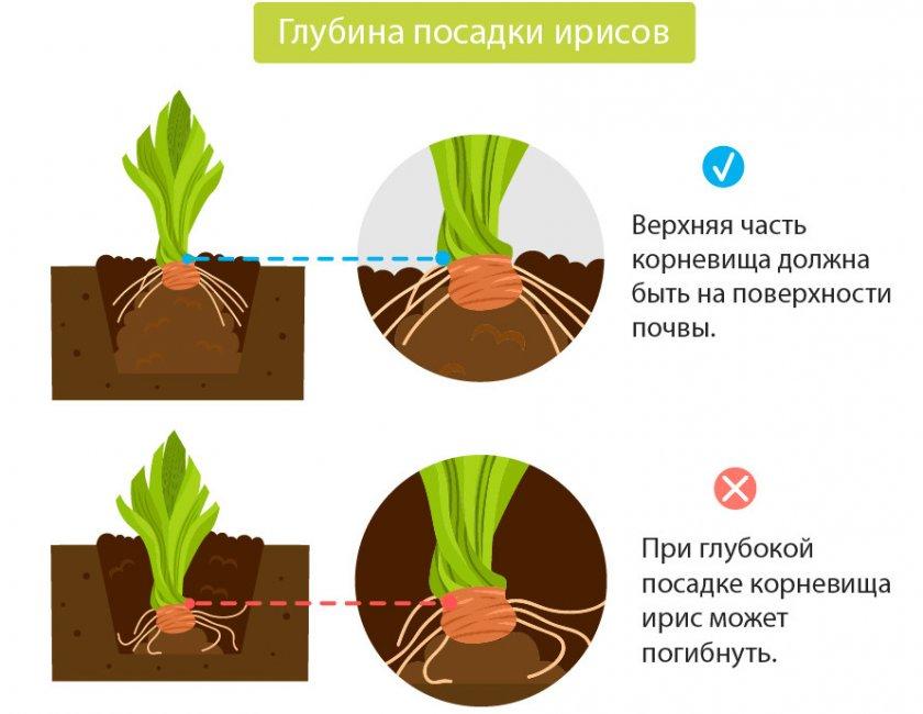 Когда и как пересаживать ирисы — правила пересадки весной и осенью