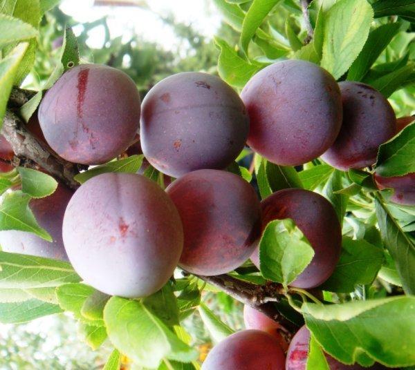 Слива волжская красавица: описание сорта, выращивание и уход, опылители и фото