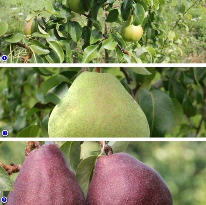 Описание сорта и фото груши мраморная, особенности выращивания, отзывы