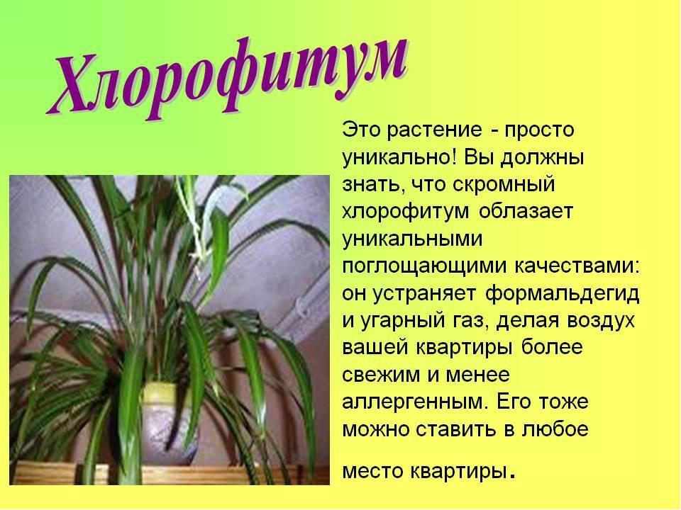 Хлорофитум: виды, описание с фото, уход в домашних условиях после покупки, как обрезать, посадка и пересадка, размножение