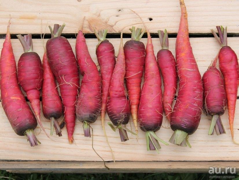 Фиолетовая морковь: описание, сорта, выращивание