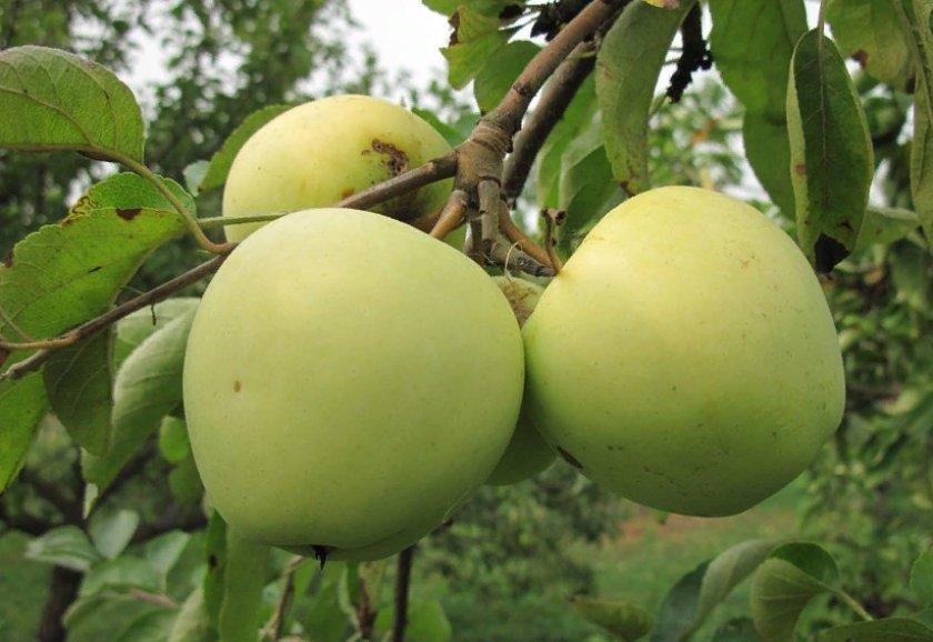 Характеристика яблони сахарный аркад - медоносы | описание, советы, отзывы, фото и видео