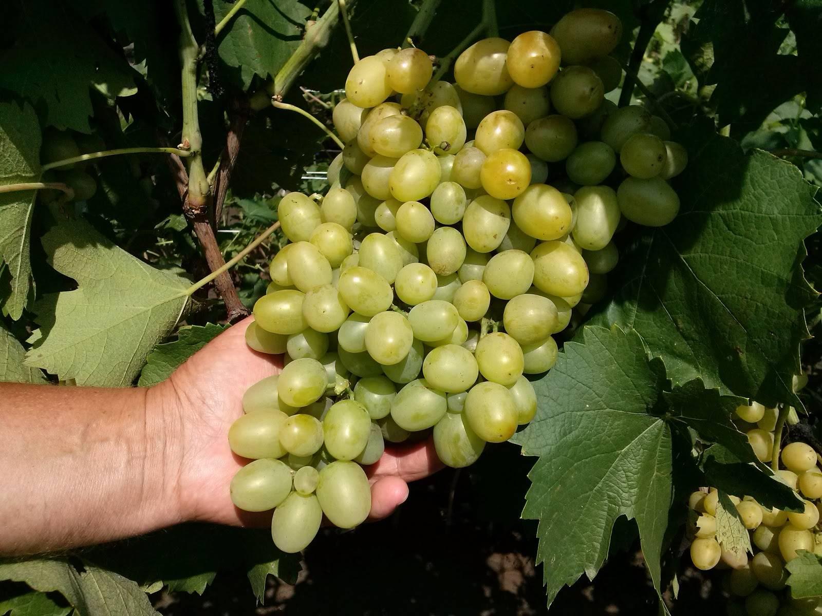 Виноград супер экстра: описание сорта, выращивание, уход и отзывы
