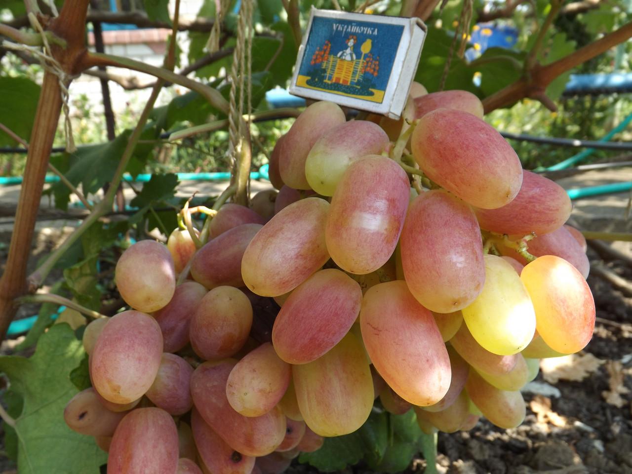 Сорта винограда для подмосковья - 20 самых лучших и вкусных, ранние, морозостойкие, неукрывные,технические,кишмиш, отзывы,выращивание и уход