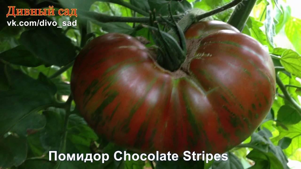 Томат шоколадное чудо: описание и характеристика сорта, отзывы, фото, урожайность