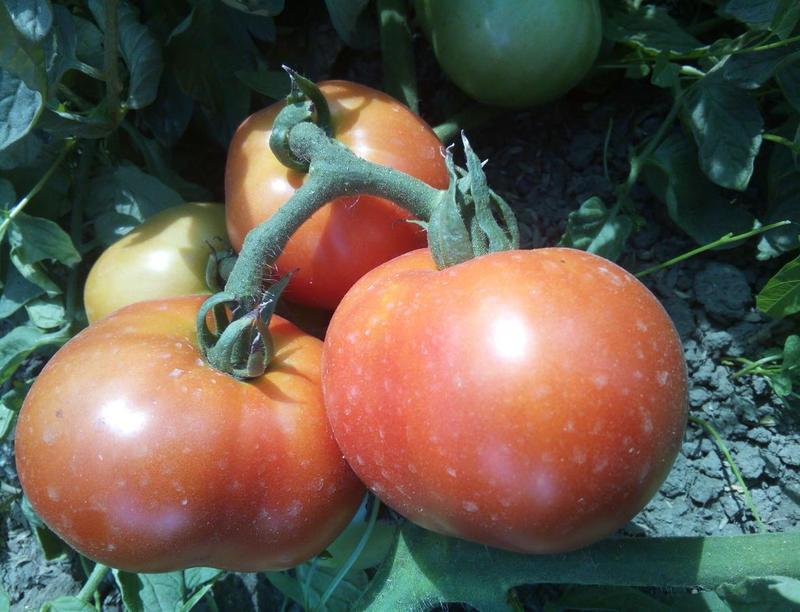 Сорт томата большая мамочка: характеристика и описание