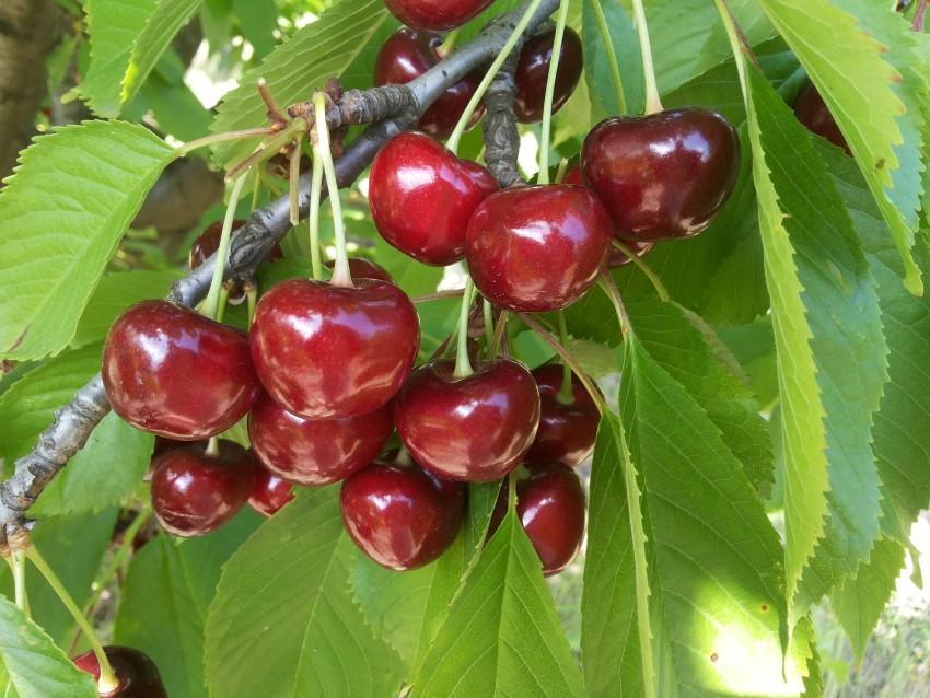 Ревна – зимостойкая черешня, дающая хороший урожай. описание сорта, отзывы дачников, советы по выращиванию