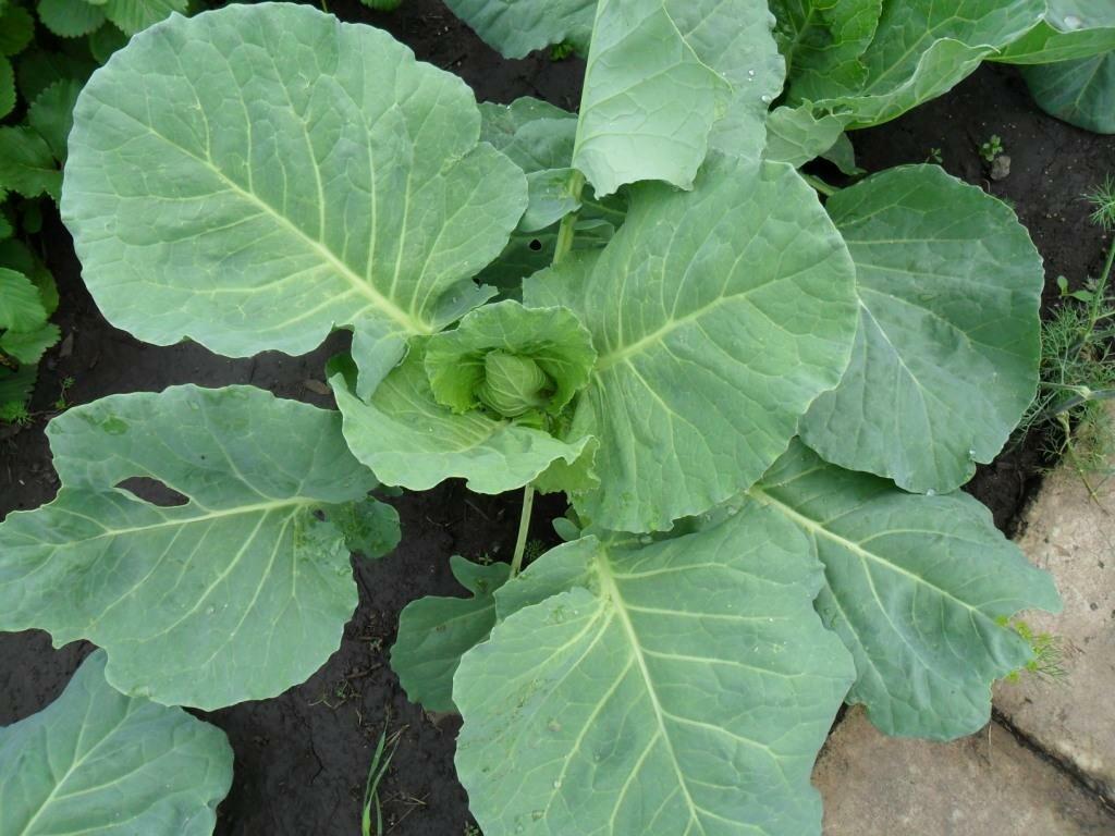 Плохо растёт рассада капусты: что делать, если маленькая и как ускорить рост в домашних условиях, а также сколько раз необходимо подкормить?