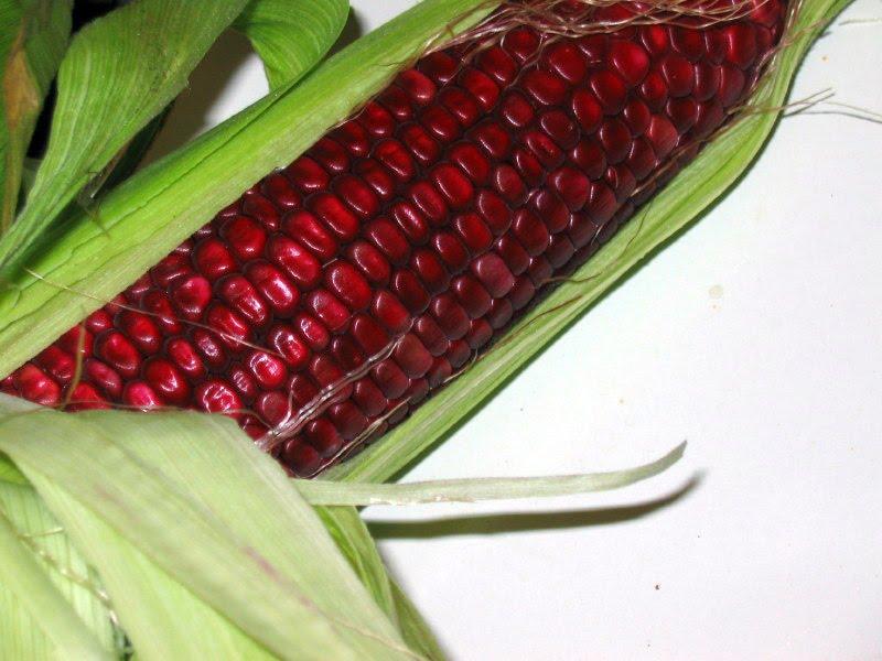 Кукуруза — характеристика, виды и места произрастания, уход + 76 фото