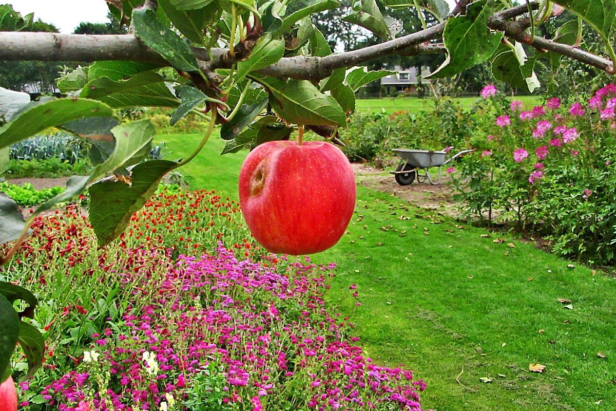 Яблони для подмосковья устойчивые к парше. летние сорта