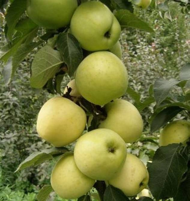 Яблоня колоновидная: выращивание, обрезка, сорта