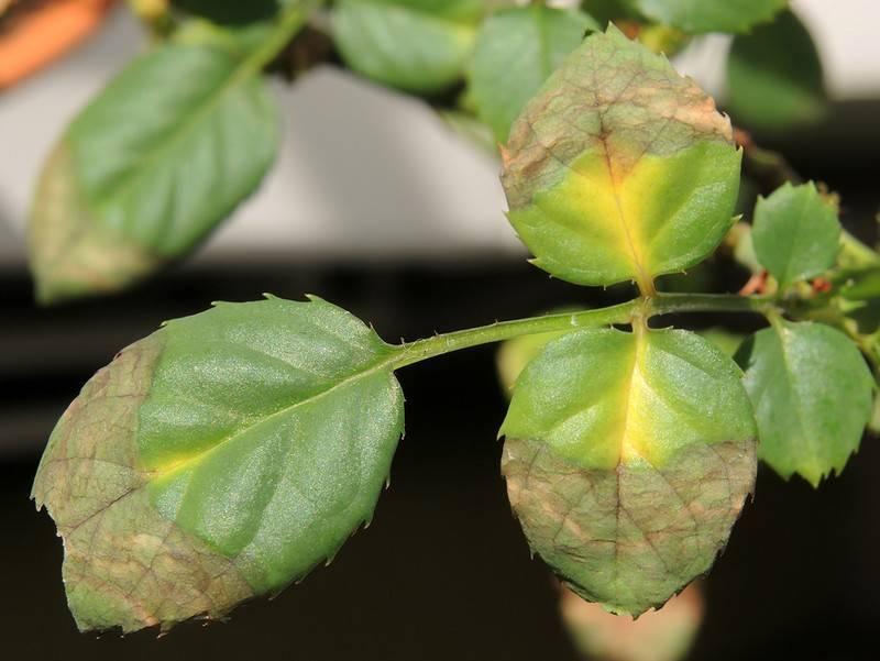 Возможные причины пожелтения листьев сливы летом: причины и лечение