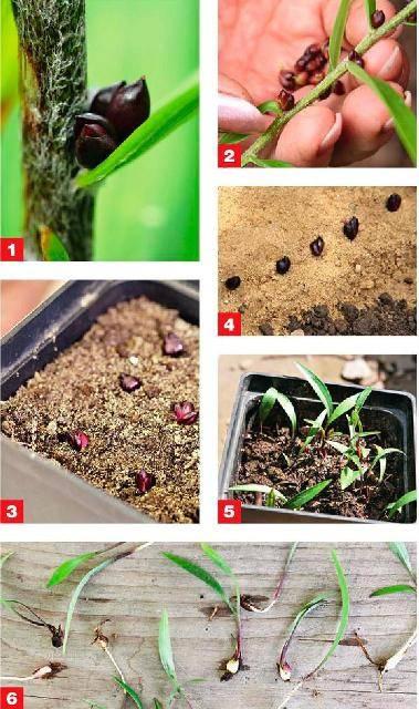 Размножение лилий