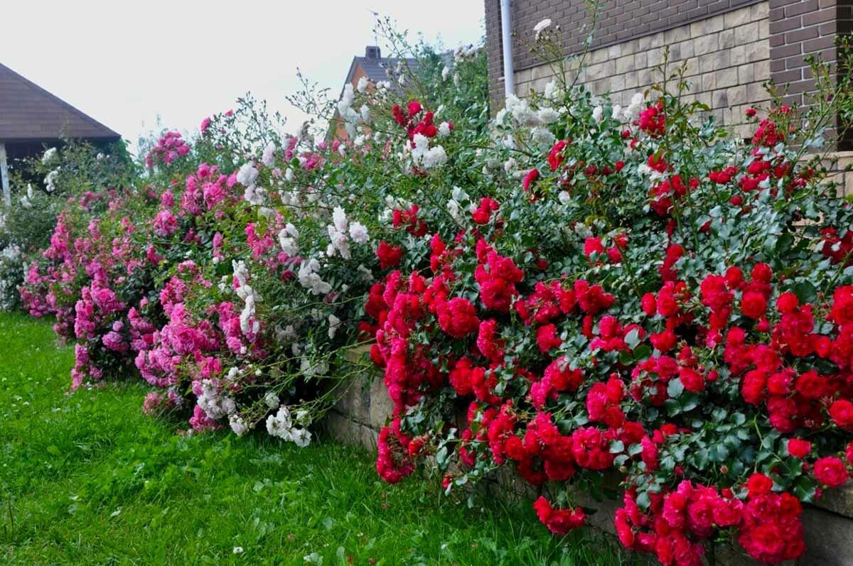 Почвопокровные розы: сорта, посадка, выращивание и уход