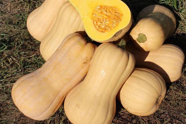 Описание тыквы Баттернат, особенности выращивания и ухода