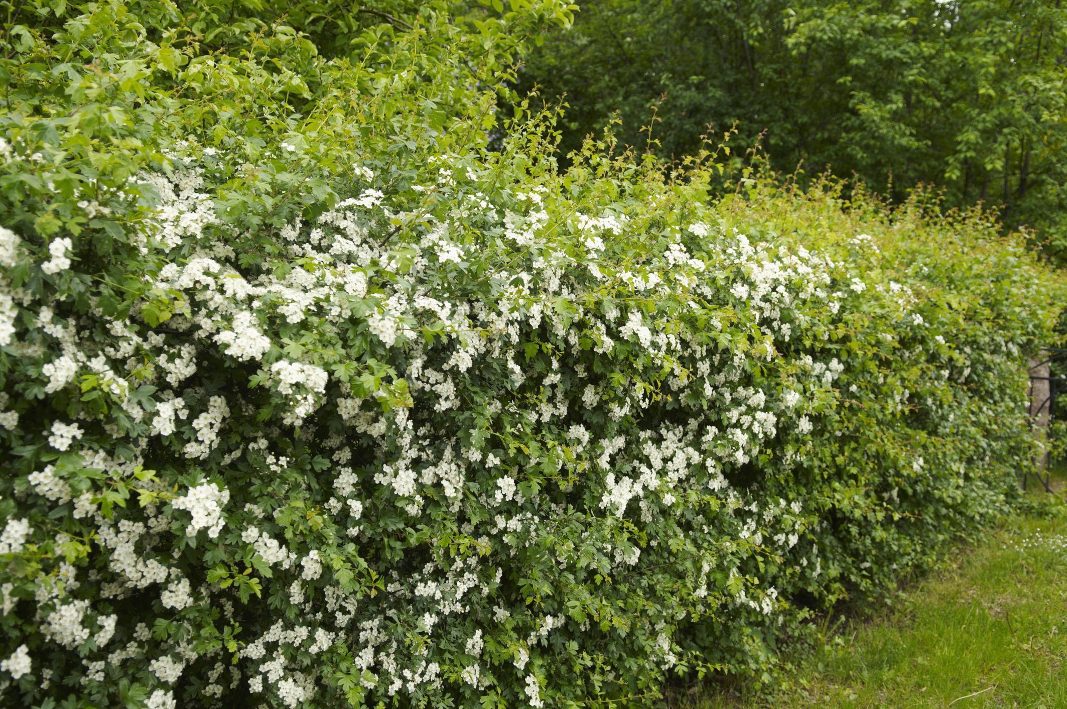 Обрезка жасмина весной и осенью для новичков: алгоритм действий