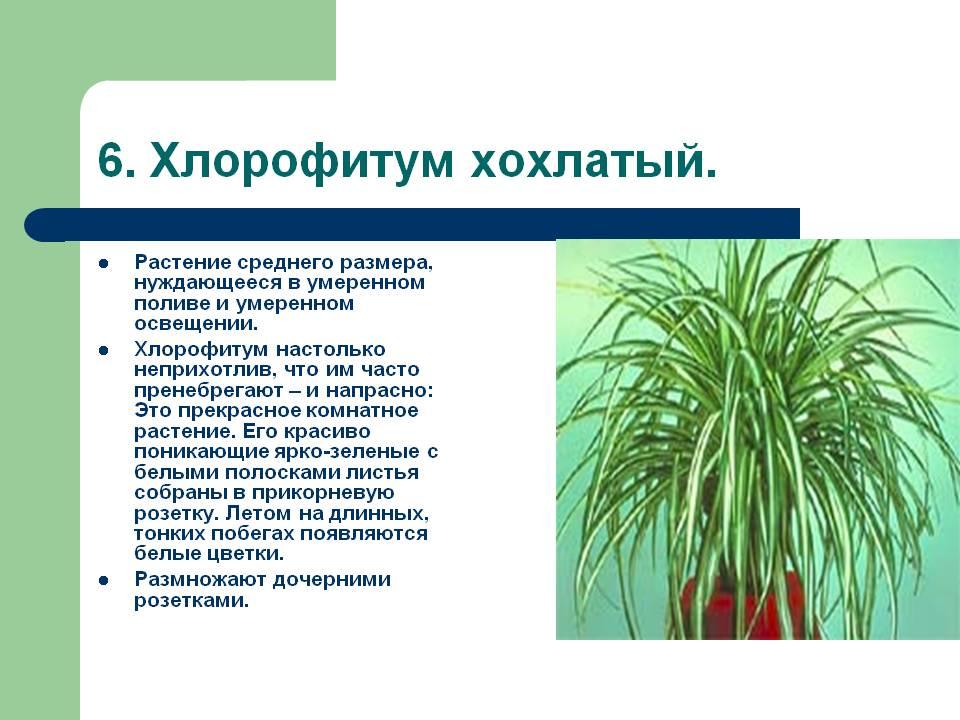 Выбираем хлорофитум: описание видов и сортов с фото