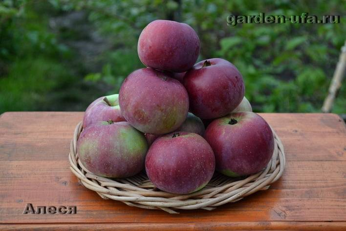 Яблоня алеся: описание сорта, фото, отзывы, посадка