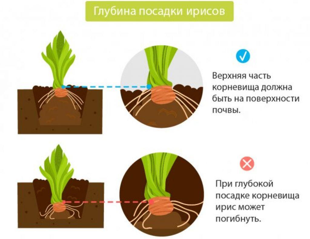 Как и когда лучше пересаживать ирисы на другое место: осенью или весной?